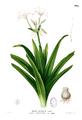 Crinum sp Blanco1.168.png