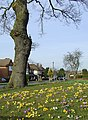 Crocuses in Buckingham Road, Penn, Wolverhampton - geograph.org.uk - 1756010.jpg