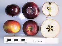 Cross section of Api Noir, National Fruit Collection (acc. 1952-106).jpg