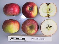 Cross section of Finasso (Lozere), National Fruit Collection (acc. 1949-150).jpg