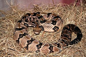 List Of Snakes Of Missouri Wikipedia - Poisonous snakes in mississippi