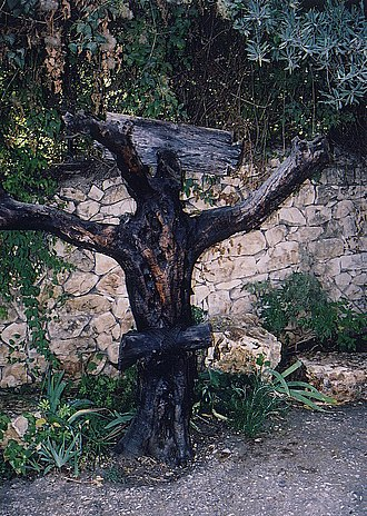 Crux simplex - Olive tree arranged as for a crucifixion (World of the Bible Garden, Ein Karem)