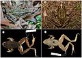 Cryptic-Diversity-in-Metropolis-Confirmation-of-a-New-Leopard-Frog-Species-(Anura-Ranidae)-from-New-pone.0108213.g002.jpg