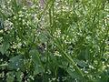 Cryptotaenia canadensis BotGardBln07122011B-1.jpg