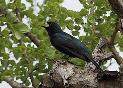 Cuckooshrike Black 2013 10 07 10 18 18 1526.jpg