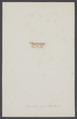 Cucullia - Print - Iconographia Zoologica - Special Collections University of Amsterdam - UBAINV0274 003 06 0036.tif