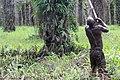 Cueillette de régime de palme 6.jpg