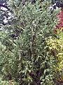 Cupressocyparis leylandii 0zz.jpg