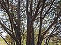 Cupressus guadalupensis, Santa Cruz Arboretum (8044380080).jpg