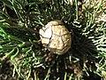 Cupressus sempervirens cone 01 by Line1.jpg