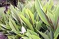 Curcuma zedoaria 5zz.jpg