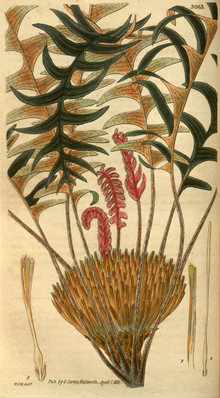 Curtis's Botanical Magazine, Plate 3063 (Volume 58, 1831).png