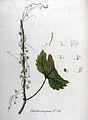 Cuscuta europaea — Flora Batava — Volume v11.jpg