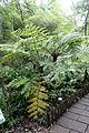 Cyathea spinulosa (Alsophila spinulosa) - Chengdu Botanical Garden - Chengdu, China - DSC03230.JPG