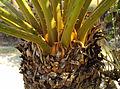Cycas circinalis 05.JPG