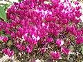 Cyclamen hederifolium dark pink - Flickr - peganum.jpg