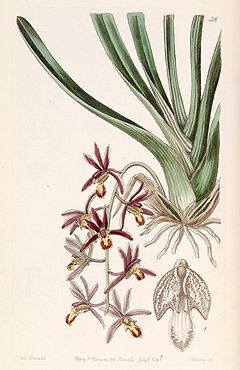Cymbidium bicolor subsp. pubescens (as Cymbidium pubescens) - Edwards vol 27 (NS 4) pl 38 (1841).jpg