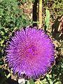 Cynara scolymus flower at the Pisa botanic garden.jpg