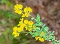 Cytisophyllum sessilifolium in Lozere (7).jpg