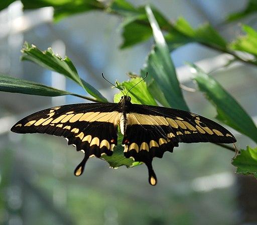 Mariposa Papilio