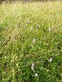 Dactylorhiza fuchsii 10.JPG