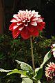 Dahlia - Kolkata 2011-02-01 0338.JPG