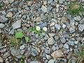 Daisy trail - geograph.org.uk - 869006.jpg