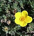 Dasiphora floribunda Shrubby Cinquefoil (344087368).jpg