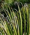 Dasylirion leiophyllum 2.jpg