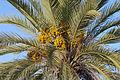 Date tree - Phoenix sp..jpg