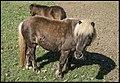 Dayboro Shetland Pony loves carrots-2 (28603360362).jpg