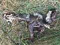 Dead animal (4879912851).jpg