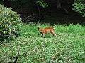 Deer in Japan.jpg