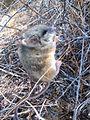 Deer mouse (Peromyscus) (14232043134).jpg