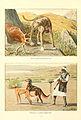 Deerhound, gazellehound.jpg