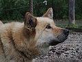 Denali Sled Dog.jpg