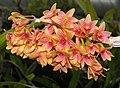 Dendrobium bullenianum -新加坡植物園 Singapore Botanic Gardens- (9244334521).jpg