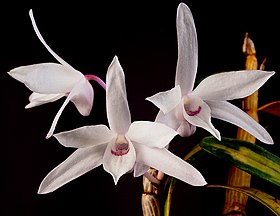 Dendrobium moniliforme (26603118095) - cropped.jpg