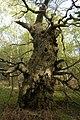 Derelict wood pasture oak pollard in derelict wood pasture, April 2017, Aldermaston.jpg