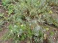 Descurainia millefolia - Jardín Botánico Canario.jpg
