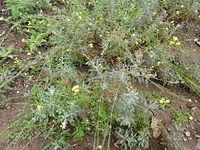 Descurainia millefolia - Jardín Botánico Canario