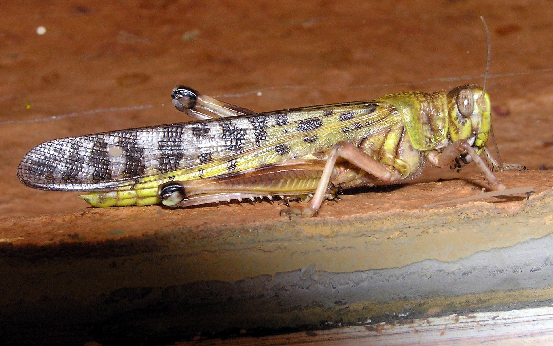 Schistocerca gregaria - Wikipedia, la enciclopedia libre - photo#40