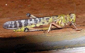 Desert locust - Close-up