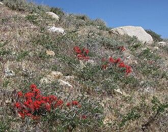 Castilleja angustifolia - Desrt paintbrush blazing up through bitterbrush on eastern Sierra Nevada hillside