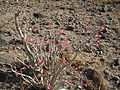Desert rose Adenium obesum in Tanzania 1853 Nevit.jpg