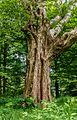 Detail van een oude berk (Betula ermanii). Locatie Hortus Haren 02.jpg