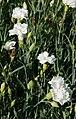 Dianthus caryophyllus 'Jeanne Dionis', Elfenau.jpg