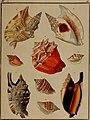 Die Flügelschnecken (Strombea) - in Abbildungen nach der Natur mit Beschreibungen (1845) (20292533424).jpg