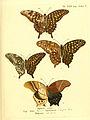 Die ausländischen Schmetterlinge in Abbildungen nach der Natur (Tab. XLVI) (6012000207).jpg