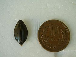 Dineutus mellyi next to a coin